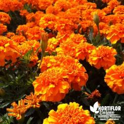Oeillet d'Inde Orange -...