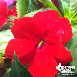 Impatiens 'Sunpatiens Red'®