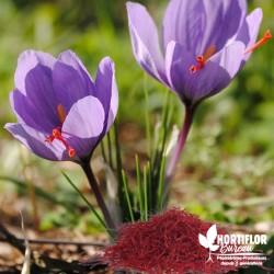 Crocus Safran - Crocus sativus