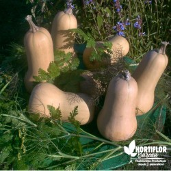 Courge 'Butternut' -...