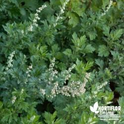 Armoise BIO**- Artemisia...