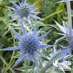 Chardon bleu - Eryngyum planum