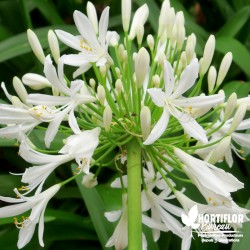Agapanthe blanche -...