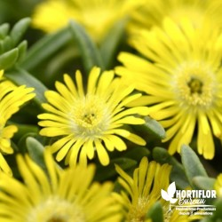 Delosperma jaune 'Wheel of...
