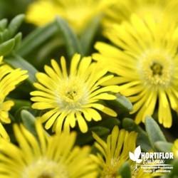 Delosperma jaune 'Wheel of...