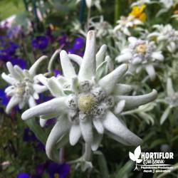 Edelweiss des Alpes -...