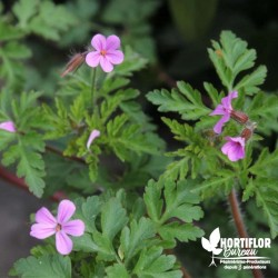 Géranium Herbe à Robert -...