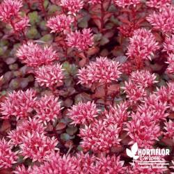 Sedum spurium rouge
