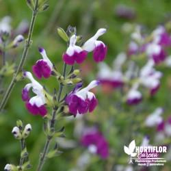 Salvia greigii 'Amethyst...