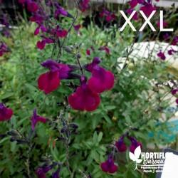 Salvia jamensis 'Violette...