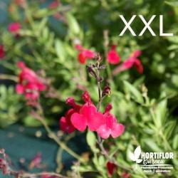 Salvia microphylla Grahamii...
