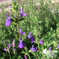 Salvia chamaedryoïdes -...