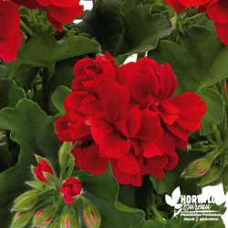Geranium lierre double...