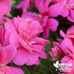 Geranium lierre double rose...