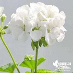 Géranium zonale double Blanc