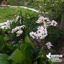 Bergenia blanc - Plante des...