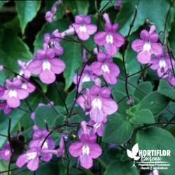 Streptocarpus -Primevère du...