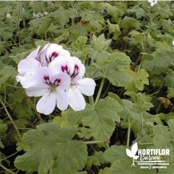 Pélargonium unique 'White...