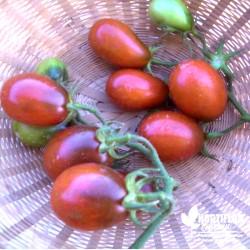 Tomate 'Prune noire' -...