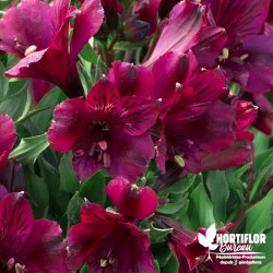 Alstroemere 'Dark Purple' ®...