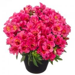 Alstroemere 'Malaga' ® rose