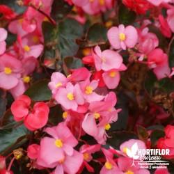 Bégonia compact à massif rose