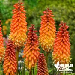 Tritoma Faux Aloes - Kniphofia