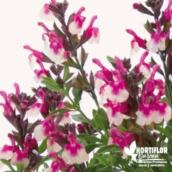 Salvia greigii 'Rose...