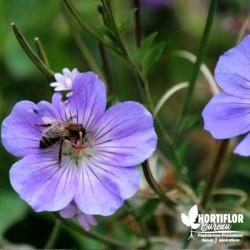 Géranium vivace 'Rozanne®'