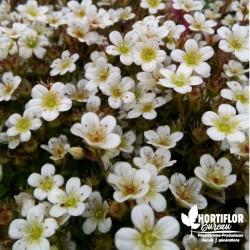 Saxifrage arendsii blanc