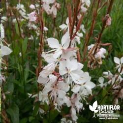 Gaura lindheimeri blanc