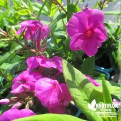 Phlox paniculata violet
