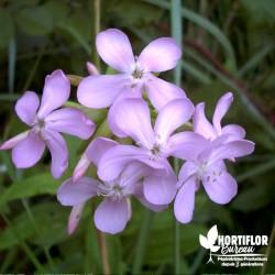 Fleur Savon - Saponaire...