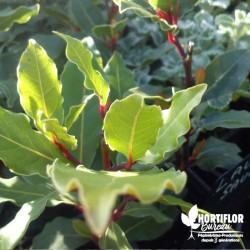 Laurier-Sauce - Laurus nobilis