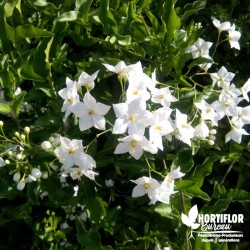 Solanum à fleur de jasmin -...