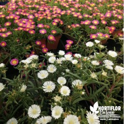 Delosperma 'Wheel Wonder...