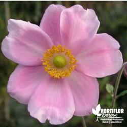 Anémone du Japon rose -...