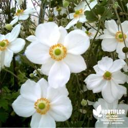 Anémone du Japon blanc...