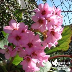 Bergenia cordifolia  rose...