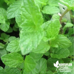 Menthe Chinoise - Mentha...