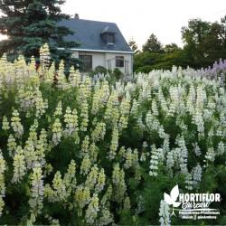 Lupin arbustif en coloris...