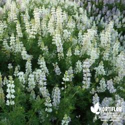 Lupin arbustif blanc -...