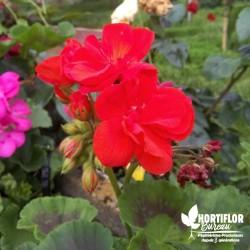 Géranium zonale double rouge