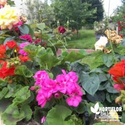 Géranium zonale double rose