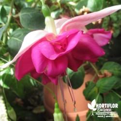 Fuchsia 'Bella Rosella'