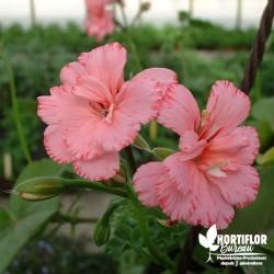 Pélargonium lierre 'Fleur...