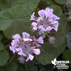 Pélargonium cordifolium