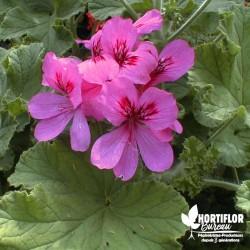 Pélargonium unique 'Purple...