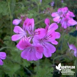 Pélargonium unique 'Pink...