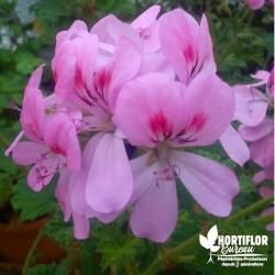Pelargonium unique 'Sweet...